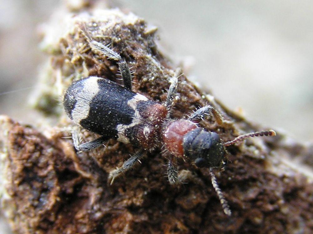 Мурахо-жук або Thanasimus formicarius (Джерело – wikipedia.org)